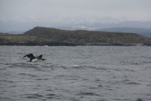 Cormorant in flight (Beagle channel).